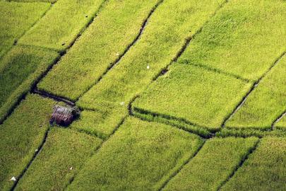 Rice Fields in Timor-Leste