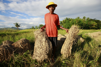 Timor-Leste Farmer Bundles Crops Destroyed by Recent Downpours