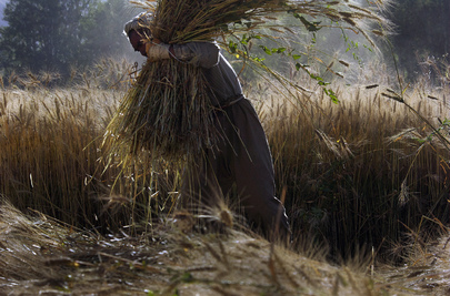 Afghan Farmer Gathers Wheat
