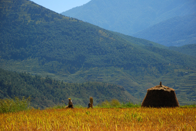 Rice Farmers at Work in Bhutan
