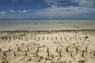 A view of mangrove shoots planted by Secretary-General Ban Ki-moon and others on Tarawa, an atoll in the Pacific island nation of Kiribati.   Mr. Ban made an official visit to the area to discuss local people's concerns about the effects of climate change on this low-lying land. 05 September 2011 Tarawa, Kiribati