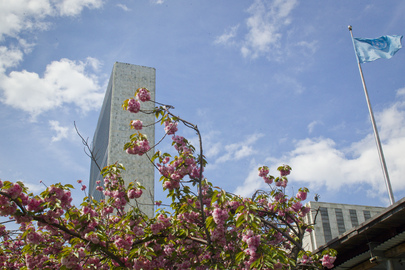 Cherry Blossoms in Spring at UN Headquarters