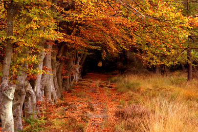 """United Nations Forum on Forests Photo Competition: """"Beech Avenue in Autumn"""""""