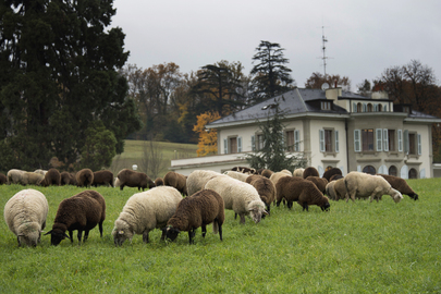 Annual Sheep Grazing at Palais des Nations