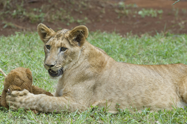 Secretary-General Adopts Lion Cub in Nairobi National Park