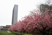 Cherry Blossoms at United Nations Headquarters