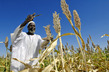 Farmer Harvests Sorghum Seeds in Sudan 3.756549