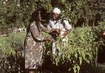 Voluntary Fund for Decade for Women Assists Green Belt Movement in Kenya 10.071983
