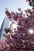 Cherry Blossoms at UN Headquarters 0.80636835