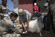 Goat Vaccination Drive Conducted by UNIFIL Peacekeepers 4.7933397