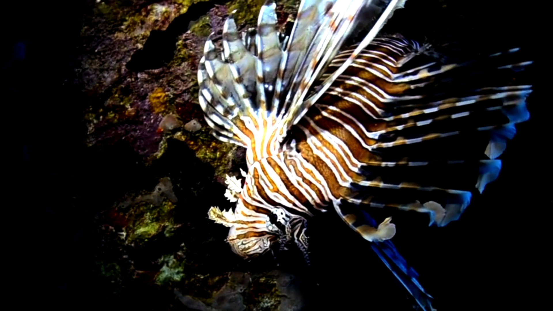 Selected frame from video story DOMINICAN REPUBLIC / LION FISH