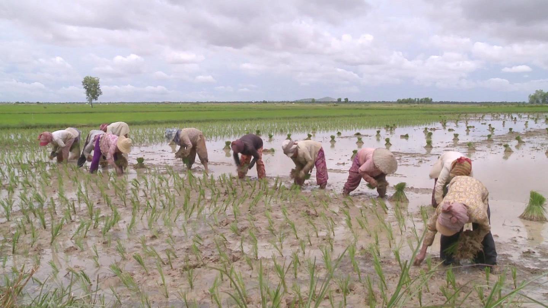 CAMBODIA  SOFTWARE RICE EXPORTS
