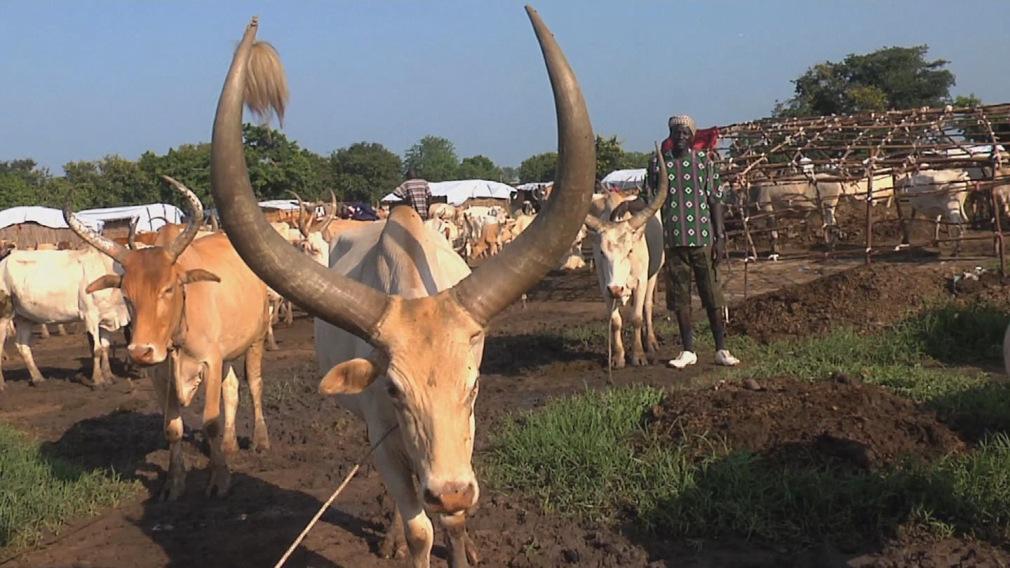 Selected frame from video story SOUTH SUDAN / ANIMAL VACCINATION