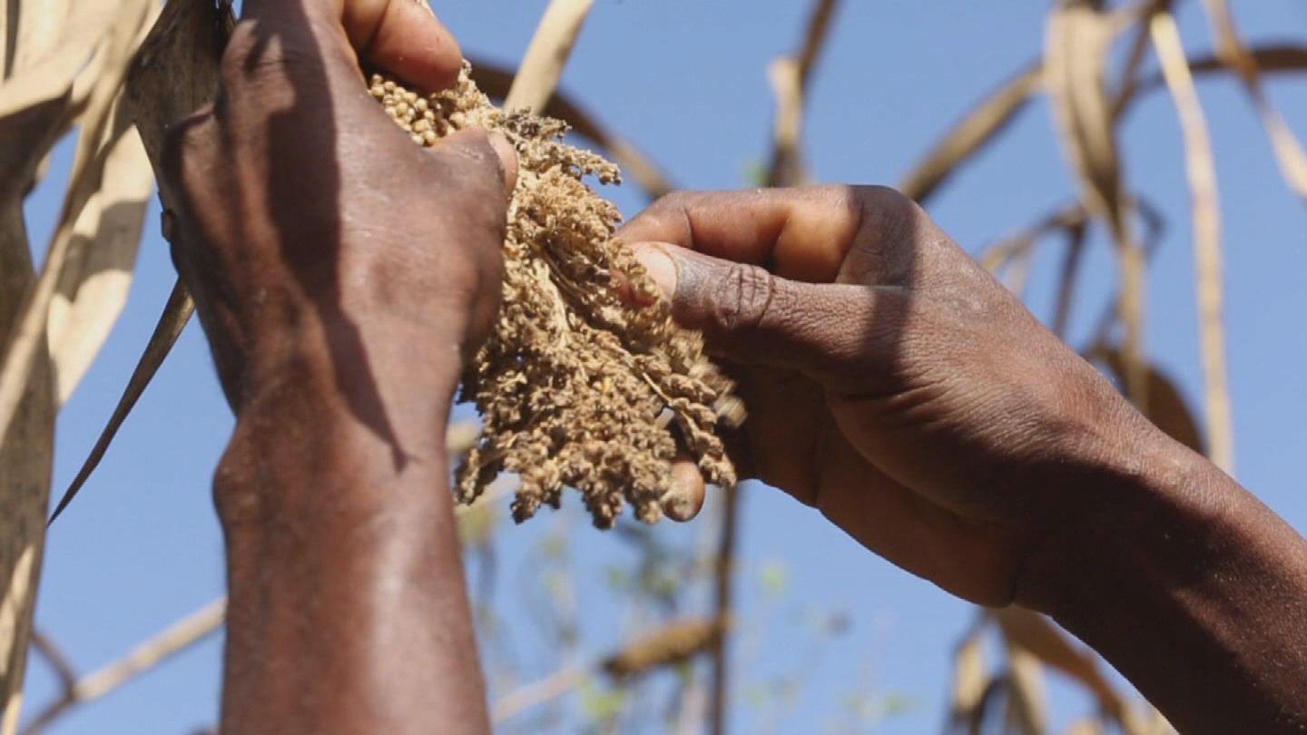 HAITI / CROP INFESTATION