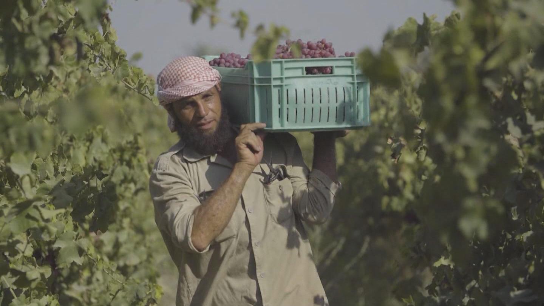 EGYPT / GRAPE FARMER